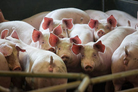 «Русагро» накормит Дальний Восток свининой