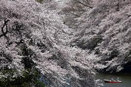 Сезон цветения сакуры в Японии
