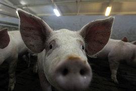 «Русагро» подождет со свиньями