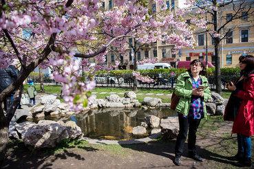 Цветение сакуры в Санкт-Петербурге