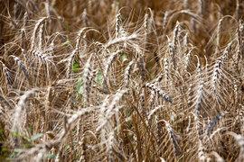 С 1 июля в России действует экспортная пошлина на пшеницу. Фактически она еще не взимается, но экспортеры уже думают, как снизить риски