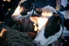Молочное животноводство – один из немногих оставшихся в российском АПК перспективных сегментов