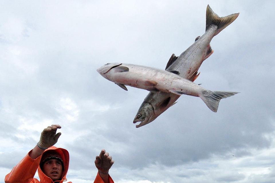 Цель законопроекта, говорится в пояснительной записке, – сохранить популяцию рыб, которые идут на нерест из моря в реки