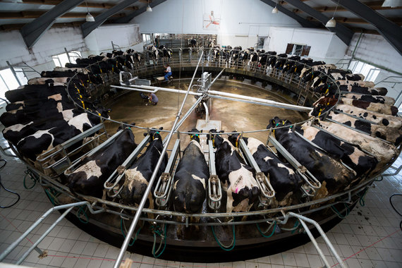 Лишь 60% потребляемого в России молока перерабатывается внутри страны
