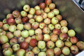 Производитель комбикорма разобьет в Ленинградской области яблоневые сады и построит завод по переработке фруктов