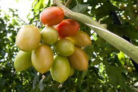 После введения продэмбарго россияне распробовали отечественные помидоры