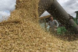 Россия в этом году соберет, по оценке РЗС, рекордные 114–118 млн т зерна, в том числе 69,5 млн т пшеницы
