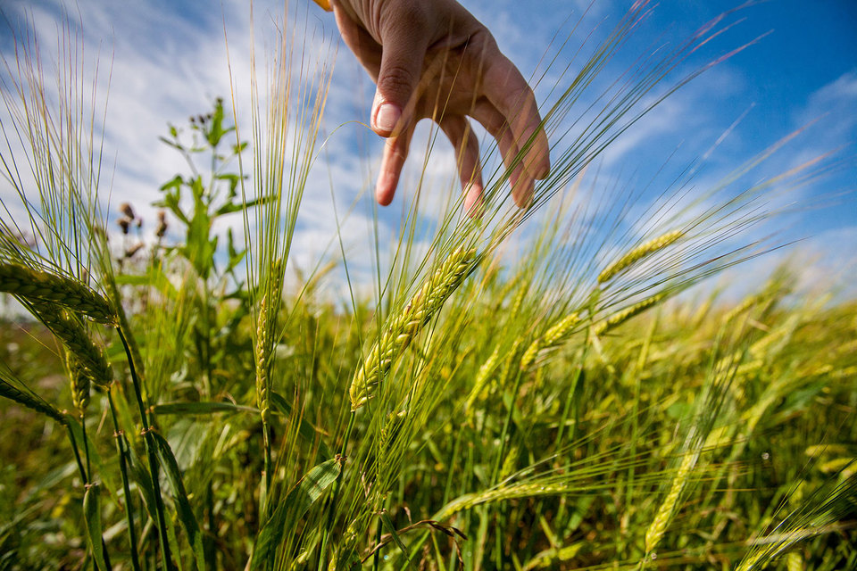 Объем продовольственного фонда Петербурга на 2016-2018 гг. составит 69 900 т пшеницы и ржи