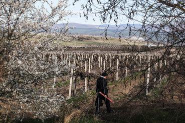 Российские виноградники дают заводам только 35% необходимого сырья
