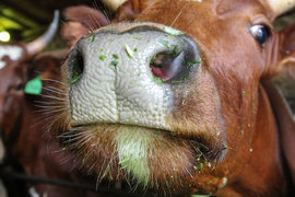 Россельхознадзор проверит, хорошо ли производитель молока следил за своими коровами