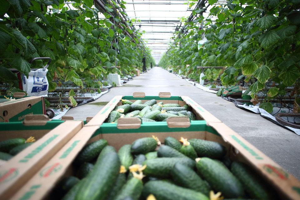 «Русагро» планировала построить теплицы на 100 га в Тамбовской области и выращивать там огурцы, помидоры и салат, рассказывал гендиректор холдинга Максим Басов в декабре 2015 г.
