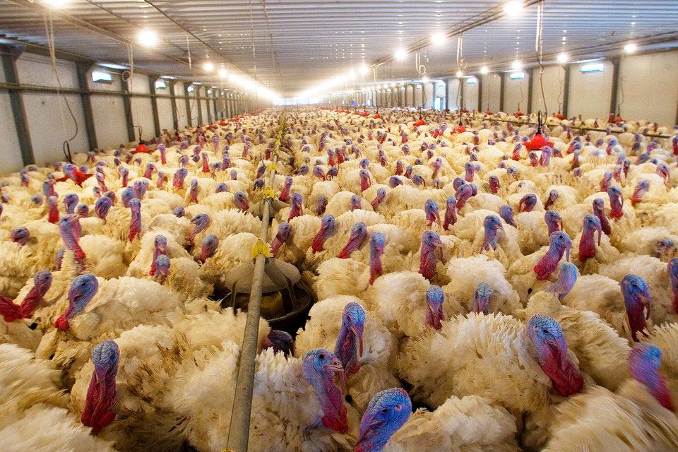 «Евродон» произвел в 2015 г. 36500 т мяса индейки