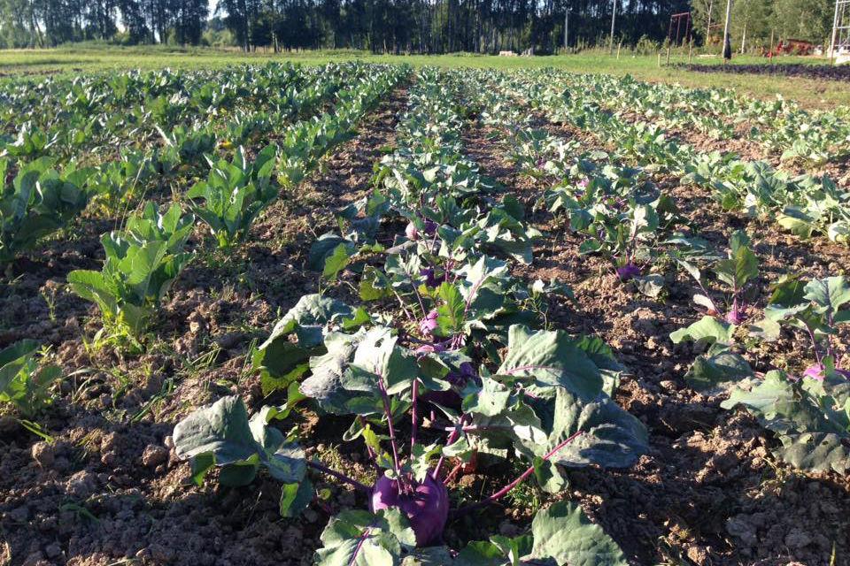 Фермерское поле с капустой кольраби