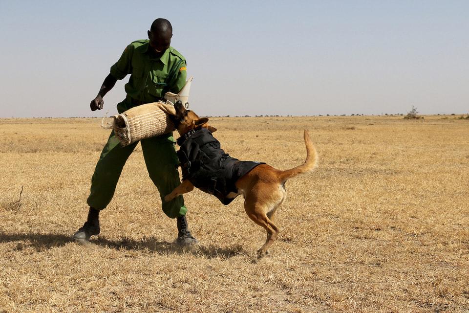 Очень скоро свет увидит серия новаторских бронежилетов для собак, сопровождающих команды по борьбе с  браконьерами