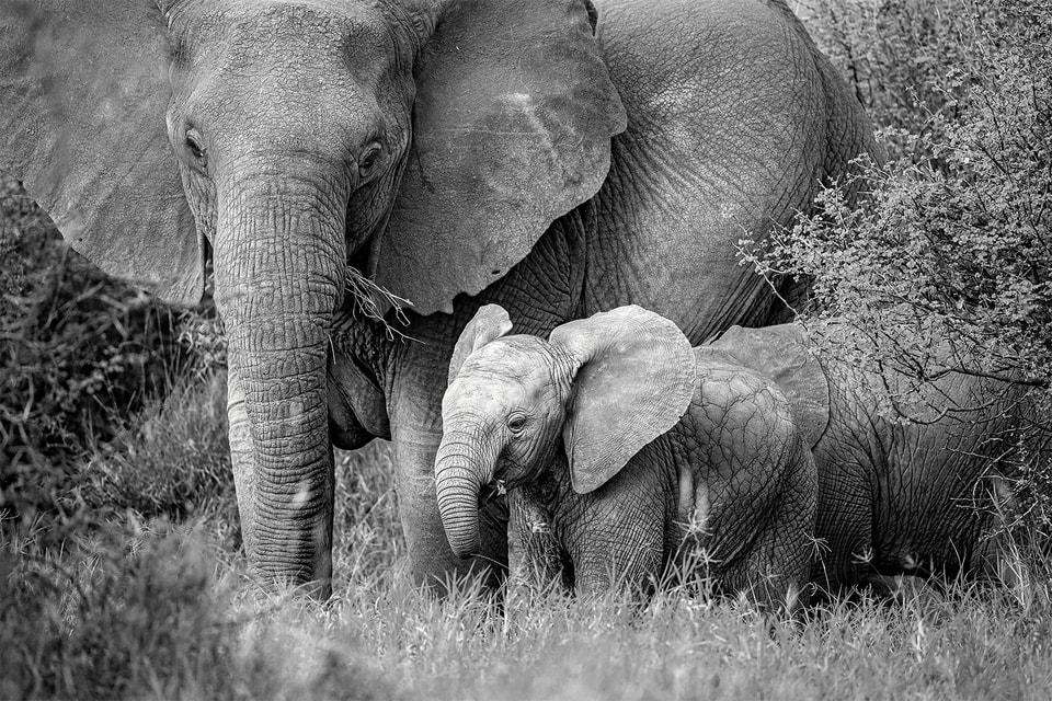 Чтобы защитить популяцию диких африканских слонов от истребления, Elephant Crisis Fund объединил свои усилия с Tiffany & Co.