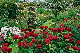 Розарий Дэвида Остина состоит из четырех садов: Lion Garden (на фото), Long Garden, Victorian Garden и Renaissance Garden