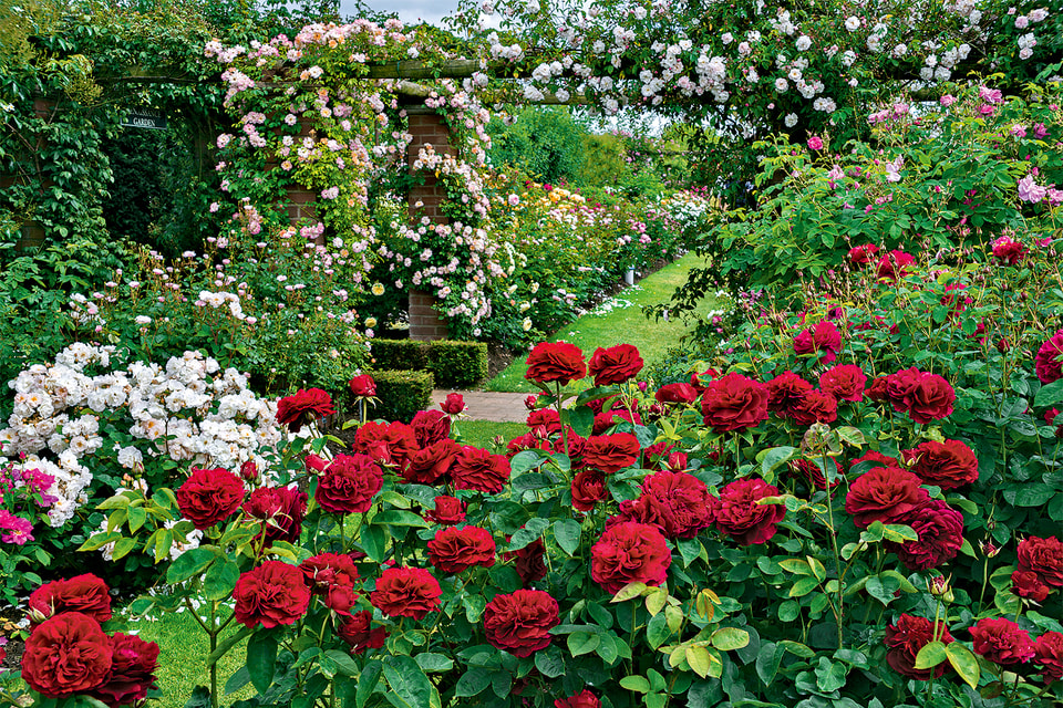 фото цветников с розами остина выбор