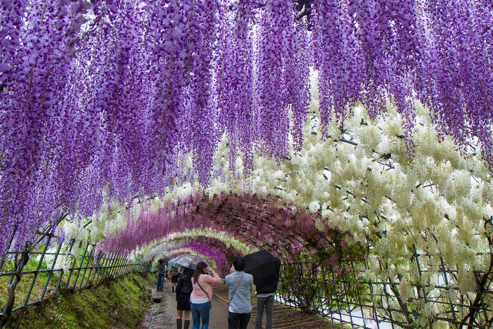 Сад глициний на острове Кюсю