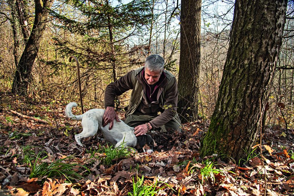 С помощью специально обученных собак трюфели собирают осенью и зимой «охотники за трюфелями», которых в Пьемонте называют трифулау