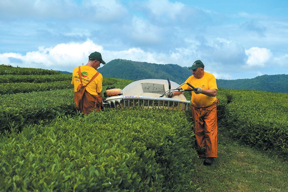 Мацестинские чайные плантации