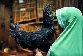 Американские заводчики продают взрослую аям чемани за $2500, а в Индонезии цыпленка той же породы можно приобрести за $200