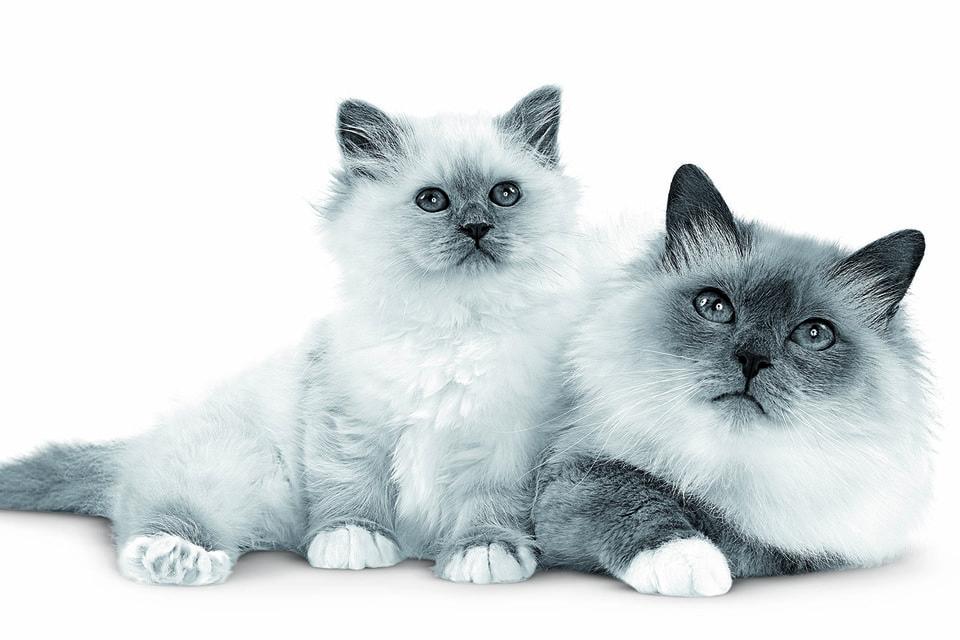 В программе фестиваля Cat Fest Royal Canin 2020 – два прямых эфира, выставка-«пристройство» кошек из приюта, консультации экспертов, а также шоу редких пород