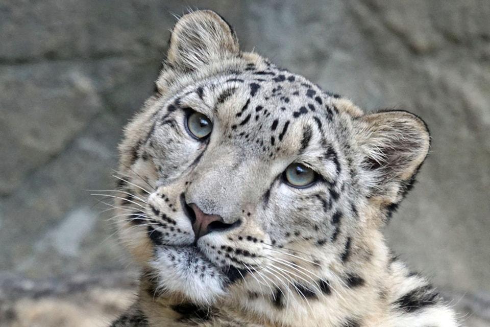 WWF приглашает волонтеров искать и фиксировать следы жизнедеятельности редкого хищника в высокогорье