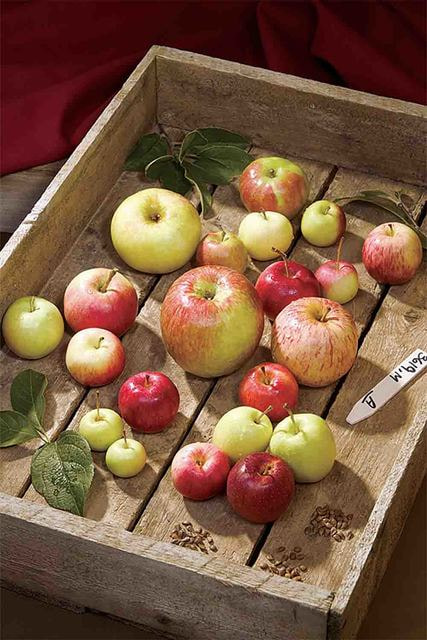 Среди сортов яблок, попавших в Америку из России, есть и знаменитая антоновка (ввезена в США в 1826 году)