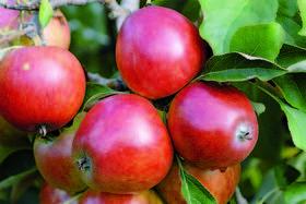 В 1970-е в США появилось новое хобби – сыщик по яблокам