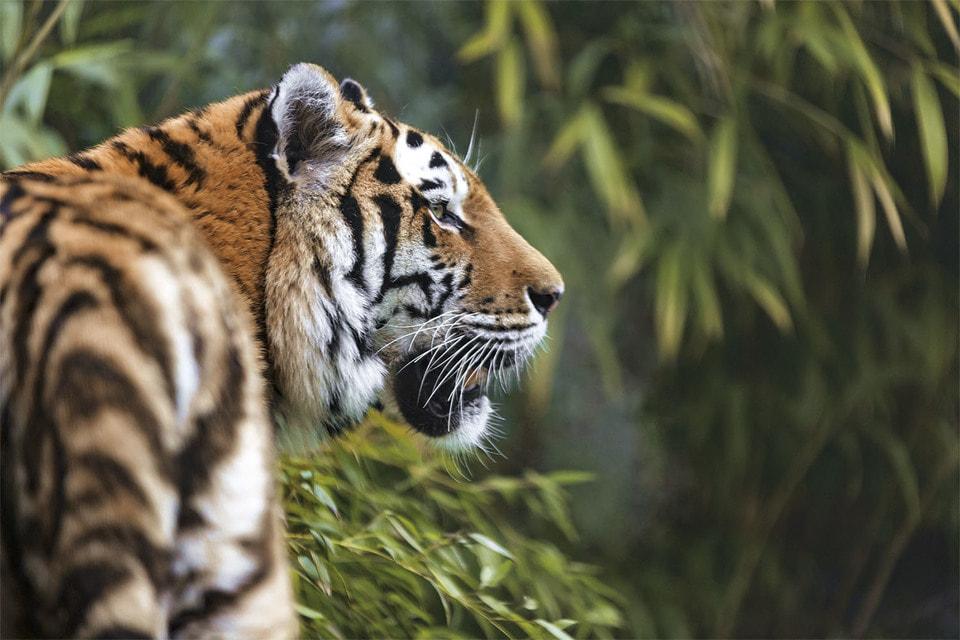 В Анюйском национальном парке (Россия) сегодня обитает около 30 амурских тигров