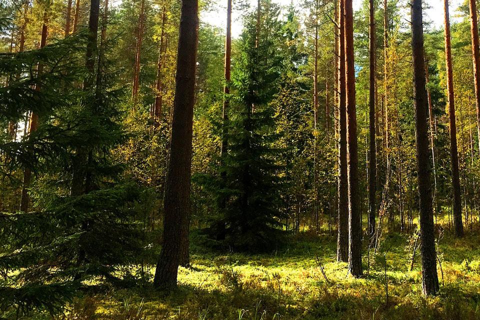 Лес в Финляндии