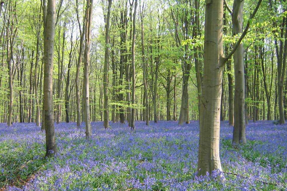 Частный лес Savernake (Уилтшир, Великобритания)